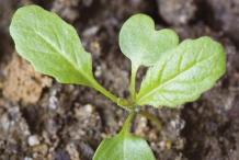 Small-Wild-mustard-plant