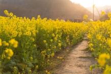 Wild-Mustard-farming