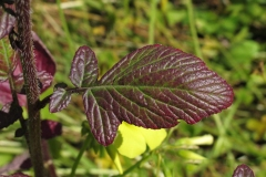Leaves-of-Wild-mustard