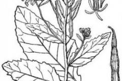 Sketch-of-Wild-mustard
