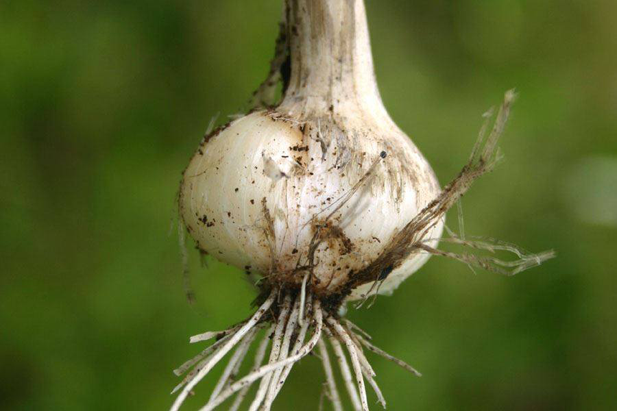 Closer-view-of-Wild-onion-bulb