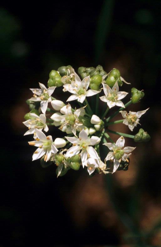 Flower-of-Wild-onion