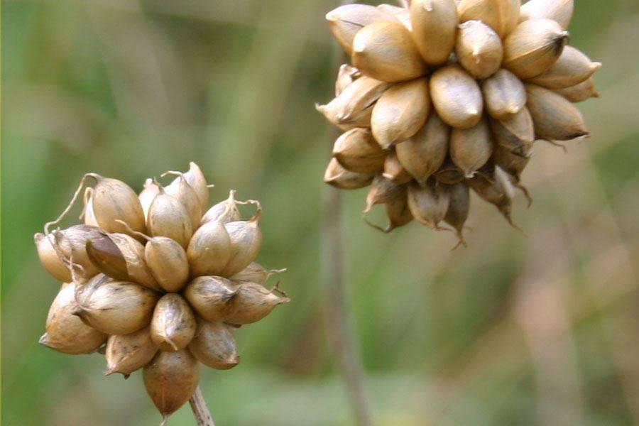 Mature-bulbils-of-Wild-onion