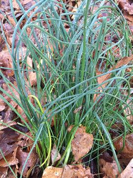 Wild-onion-plant