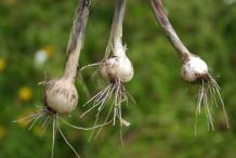 Bulbs-of-wild-Onion