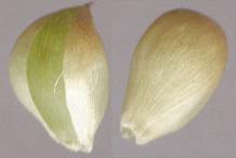 Individual-Bulbils-of-Wild-onion