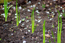 Seedlings-of-Wild-onion