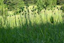Wild-onion-farming