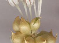 Flower-heads-of-Wild-onion