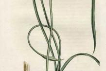 Plant-Illustration-of-Wild-onion