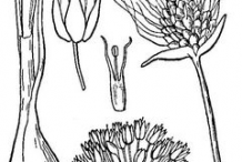 Sketch-of-wild-Onion
