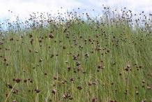 Wild-onion-plants-growing-wild