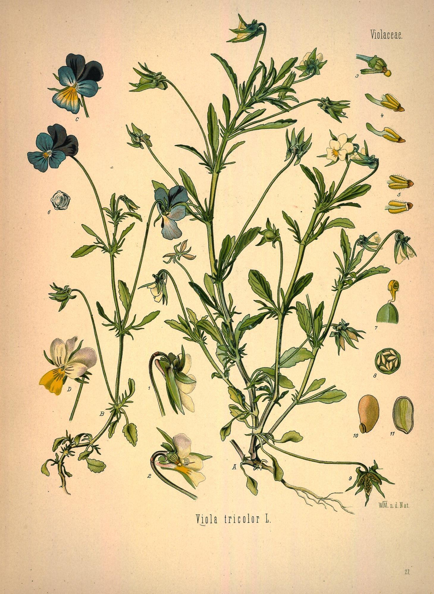 Plant-illustration-of-Wild-pansy