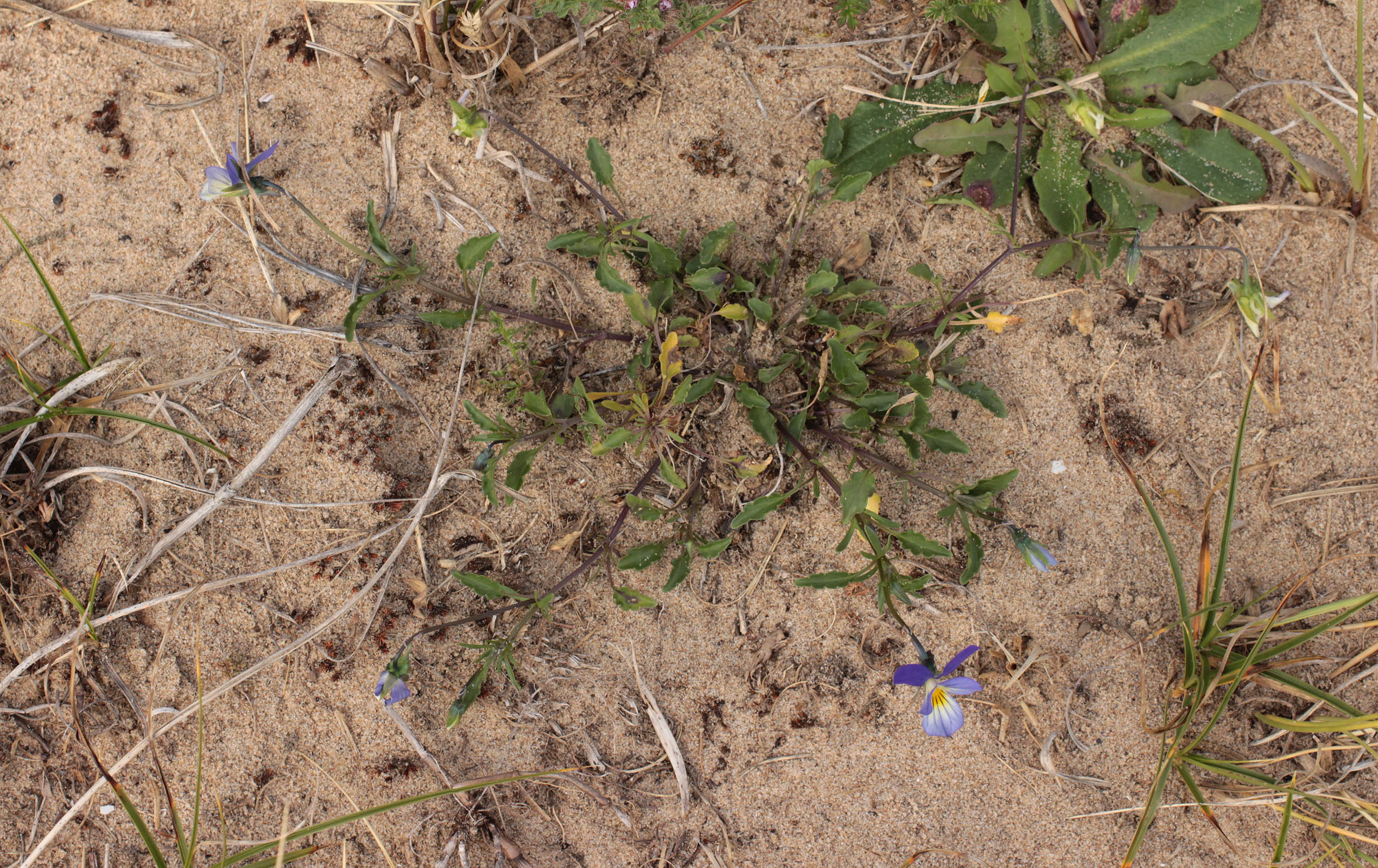 Wild-pansy-plant