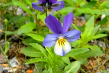 Close-view-of-Wild-Pansy-flower