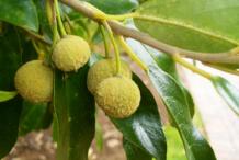 Fruit-of-Wild-Peach