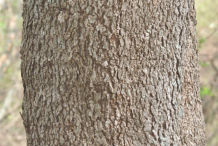 Bark-of-Wild-Peach