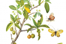 Plant-Illustration-of-Wild-Peach
