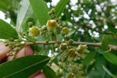 Flowers-of-Wild-Peach-plant