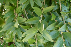 Leaves-of-Wild-Peach-plant