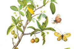 Plant-Illustration-of-Wild-Peach