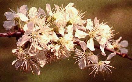 Flower-of-Wild-Plum
