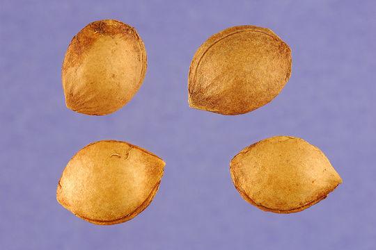 Seeds-of-Wild-Plum