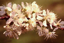 Flower-of-Wild-Plum