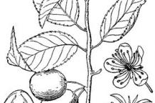 Sketch-of-Wild-Plum