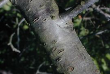 Trunk-of-Wild-Plum