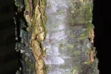 Bark-of-Wild-Plum