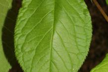 Leaf-of-Wild-Plum