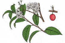 Plant-Illustration-of-Wild-Plum