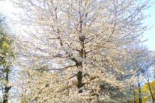 Wild-Plum-plant