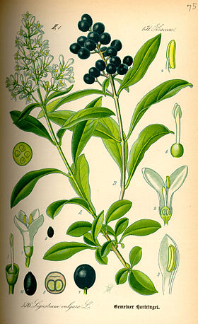 Plant-illustration-of-Wild-Privet