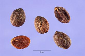 Wild-Privet-seeds