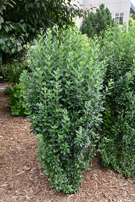 Wild-Privet-shrub