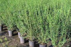 Wild-Privet-plantation