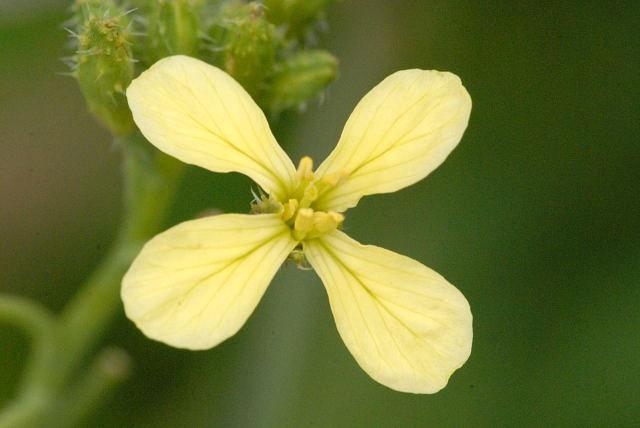 Yellow-form-flower-of-Wild-Radish