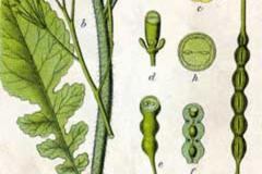 Plant-Illustration-of-Wild-Radish