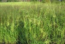 Wild-rice-farm