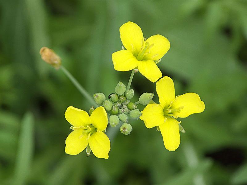 Flowers-of-Wild-rocket