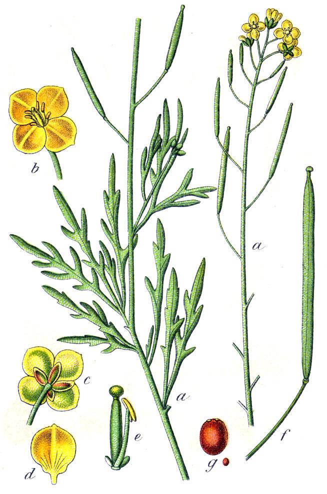 Plant-Illustration-of-Wild-rocket