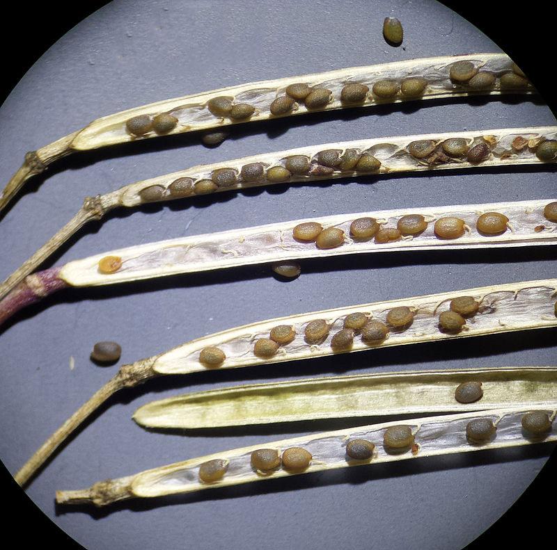Seeds-of-Wild-rocket