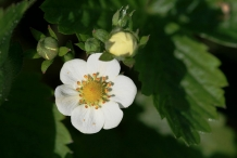 Closer-view-of-flower-of-Wild-strawberry