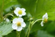 Flower-of-Wild-strawberry
