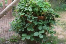 Growing-Strawberries-in-a-Pot