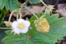Immature-fruit-of-Wild-strawberry