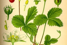 Plant-Illustration-of-Wild-strawberry