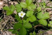 Small-Wild-strawberry-Plant
